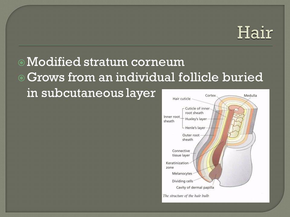 Hair Modified stratum corneum