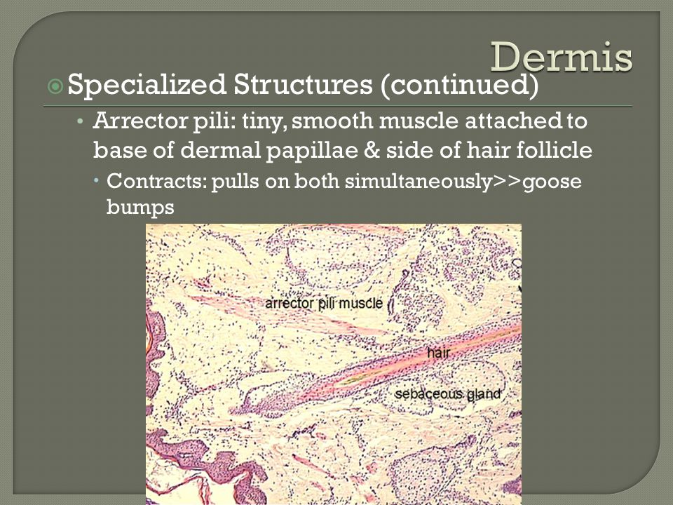 Dermis Specialized Structures (continued)