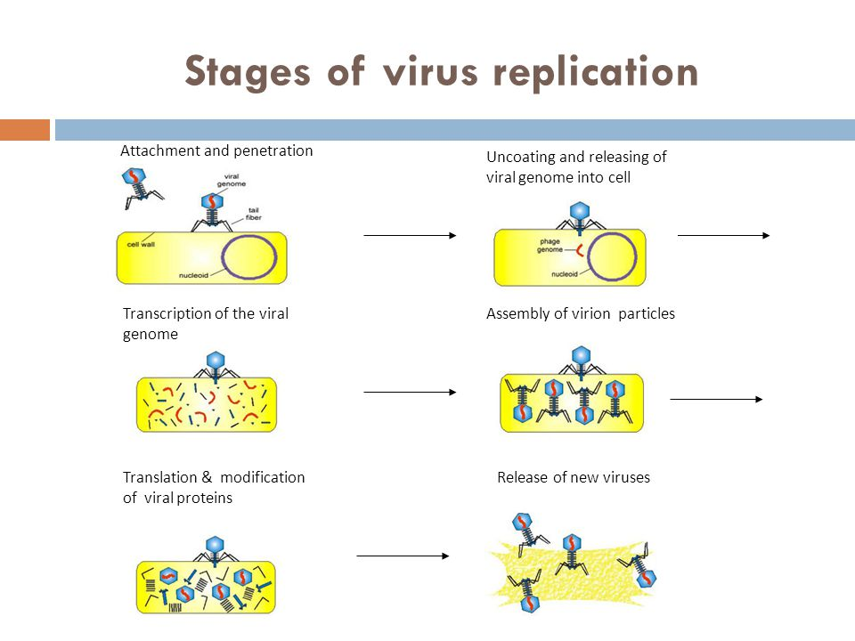 Stages of virus replication