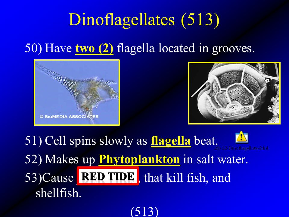 Dinoflagellates (513) 50) Have two (2) flagella located in grooves.