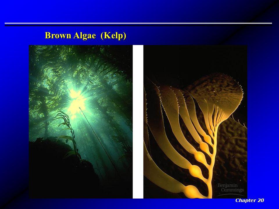 Brown Algae (Kelp) Chapter 20