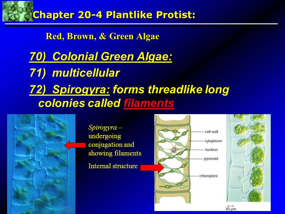 70) Colonial Green Algae: 71) multicellular