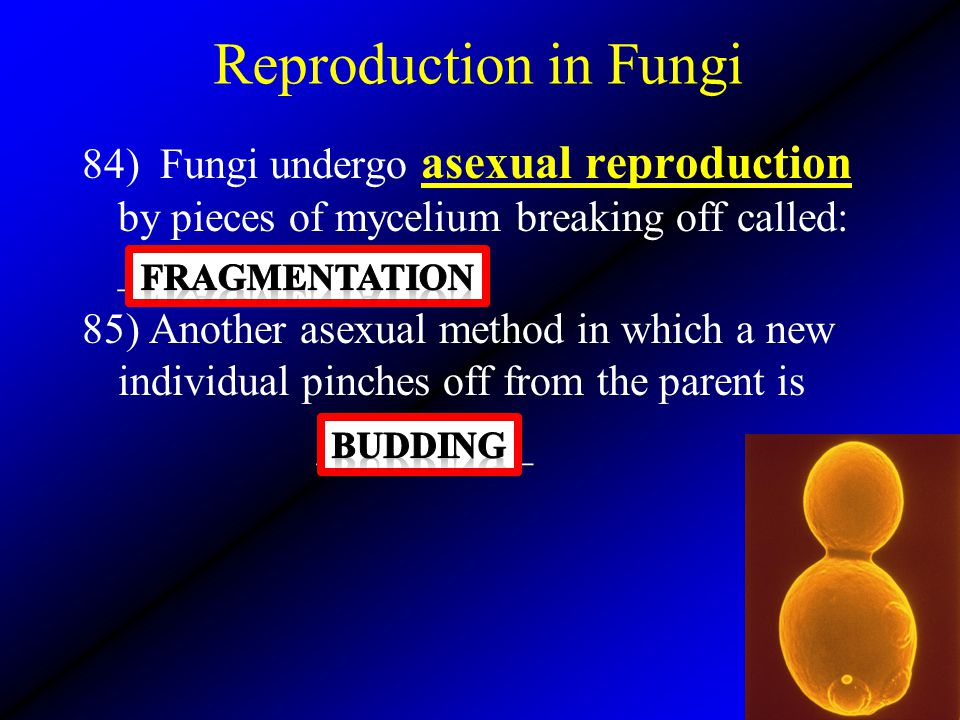 Reproduction in Fungi 84) Fungi undergo asexual reproduction by pieces of mycelium breaking off called: ______________.