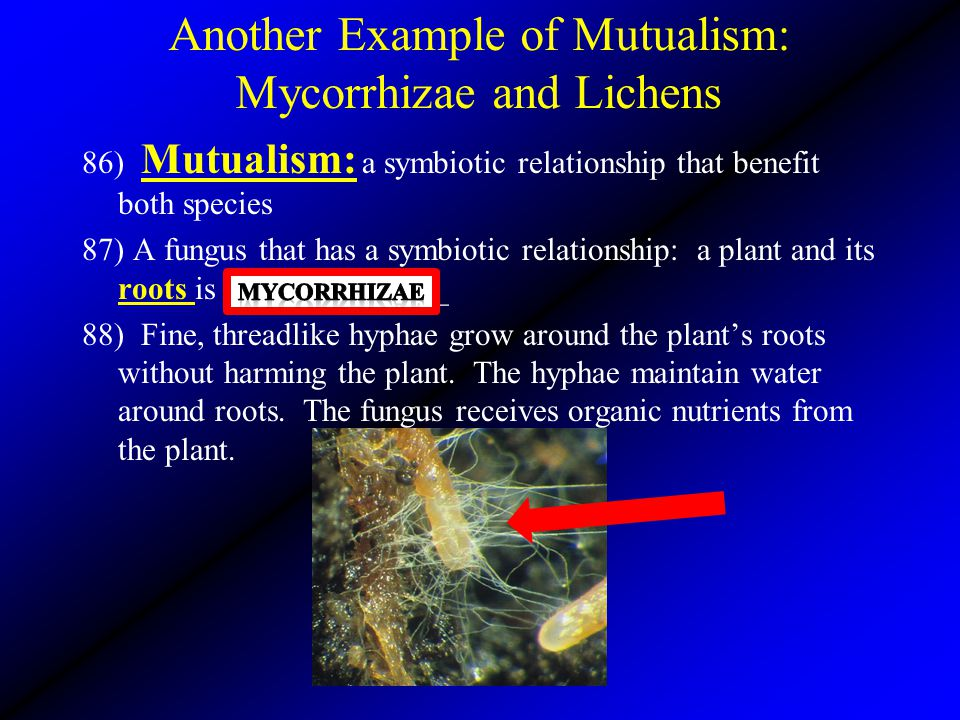 Another Example of Mutualism: Mycorrhizae and Lichens