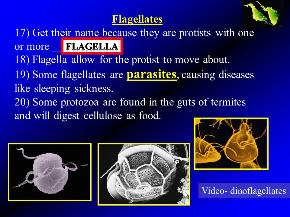 18) Flagella allow for the protist to move about.