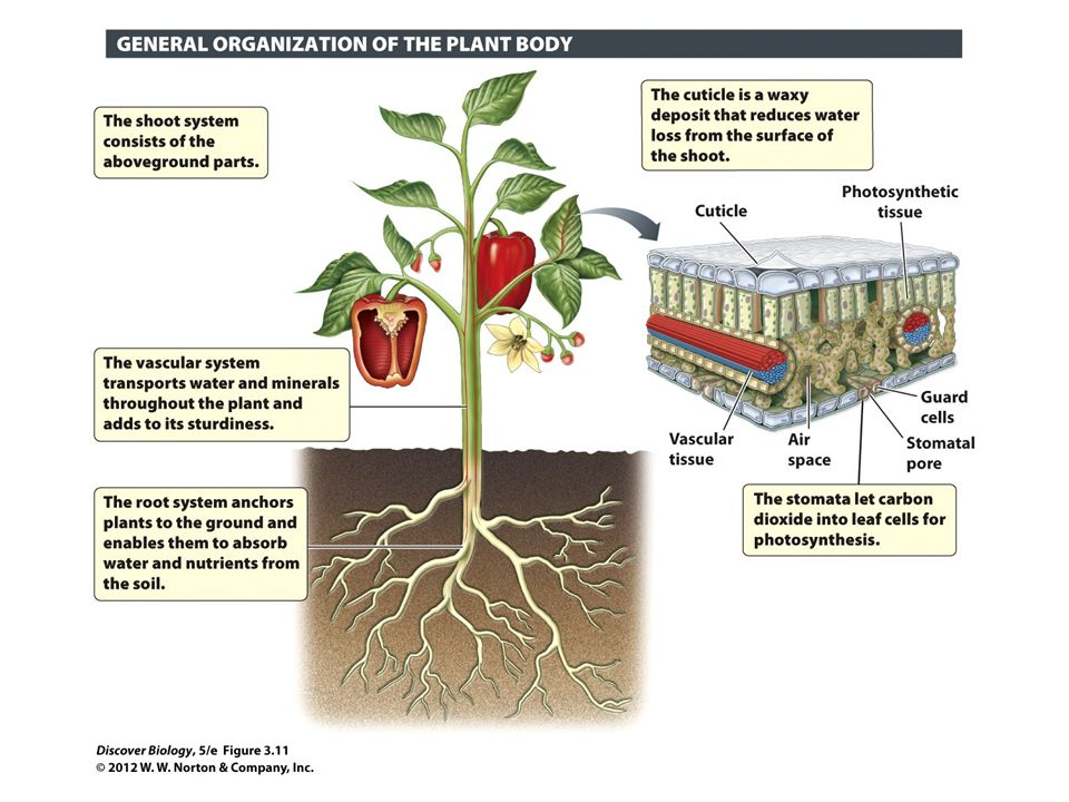 Figure 3.11 The Plant Body Consists of the Shoot and Root Systems