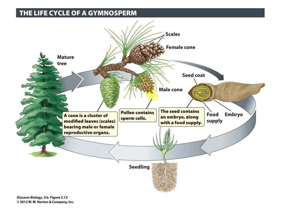 Figure 3.12 Gymnosperms Were the First Plants to Produce Pollen and Seeds