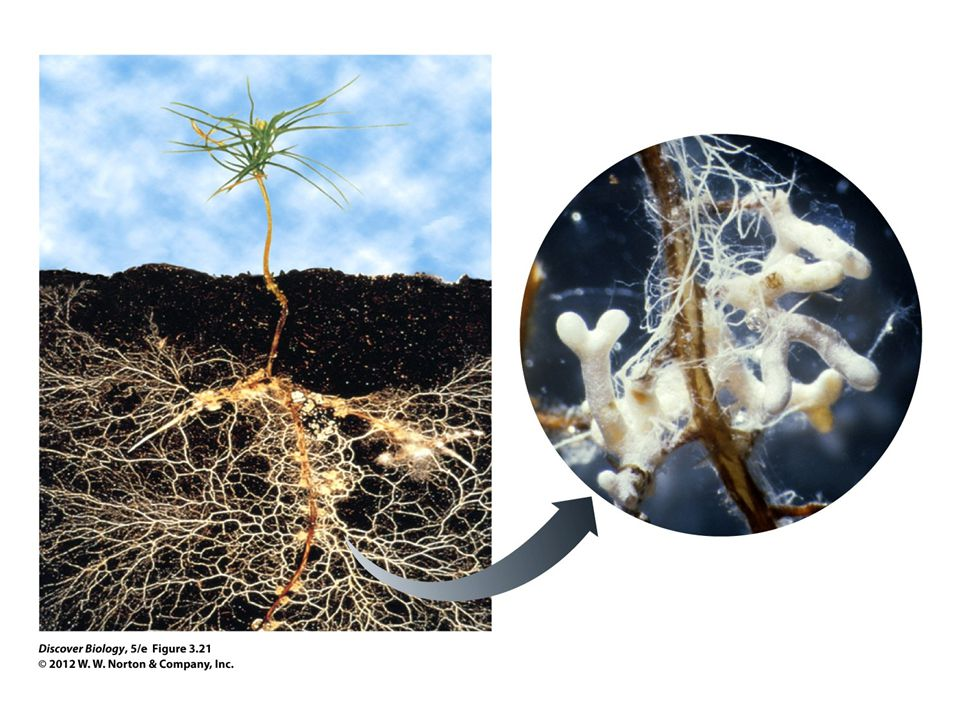 Figure 3.21 Mycorrhizae Are Mutualisms between Fungi and Plant Roots