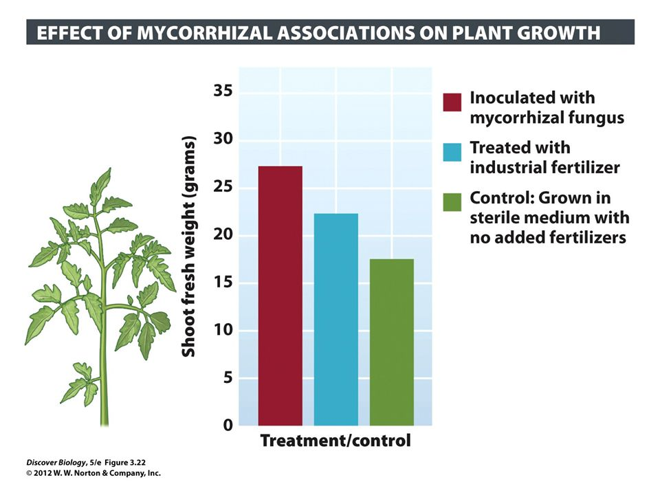 Figure 3.22 Mycorrhizal Associations Benefit Growth of Tomato Plants