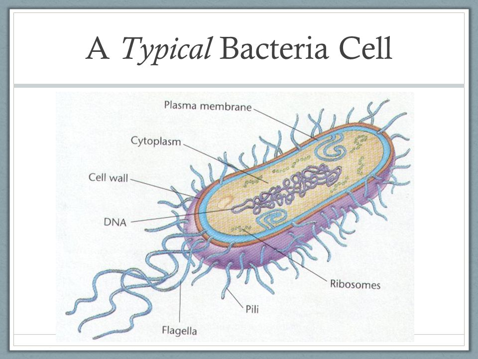 A Typical Bacteria Cell