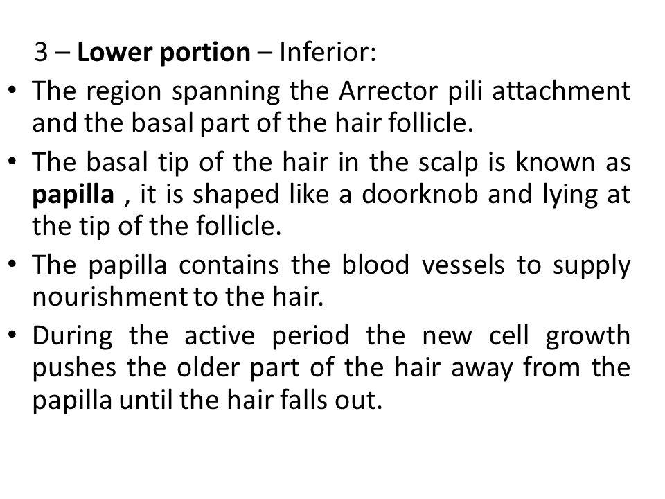 3 – Lower portion – Inferior: