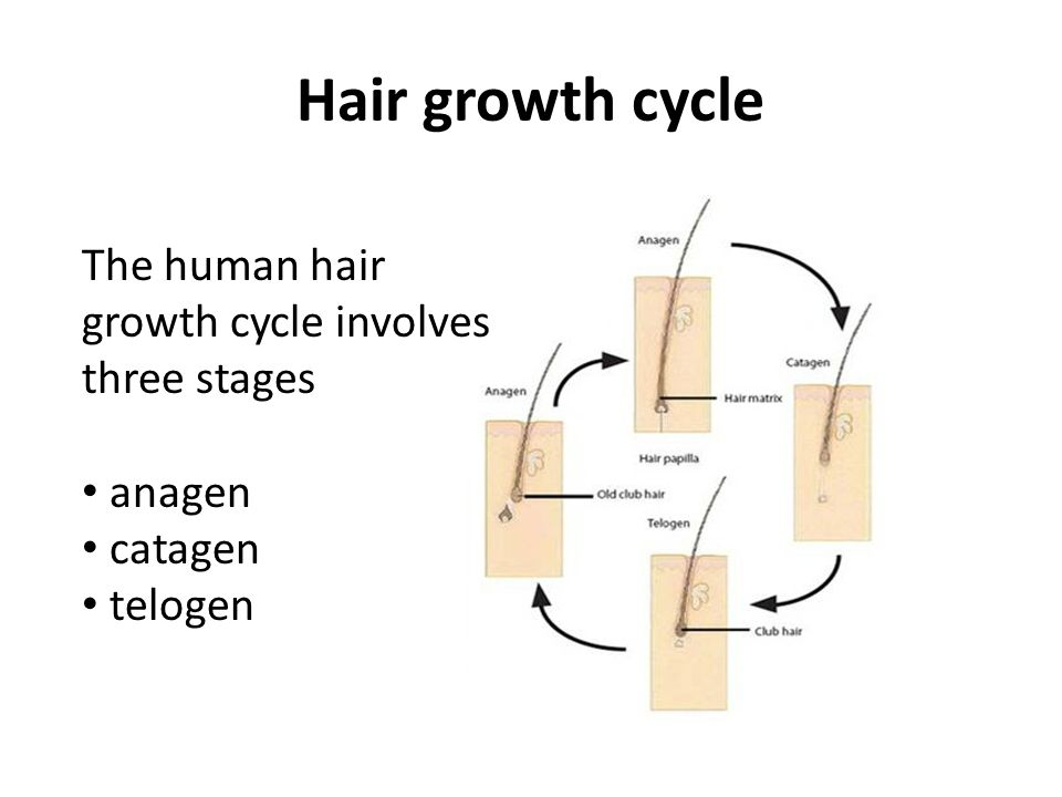 Hair growth cycle The human hair growth cycle involves three stages