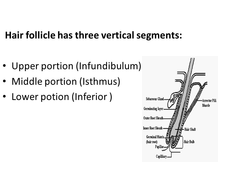Hair follicle has three vertical segments: