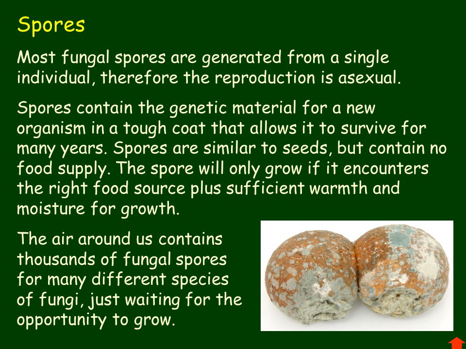 Spores Most fungal spores are generated from a single individual, therefore the reproduction is asexual.