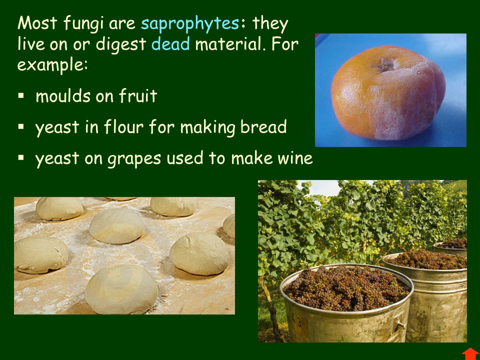 Most fungi are saprophytes: they live on or digest dead material