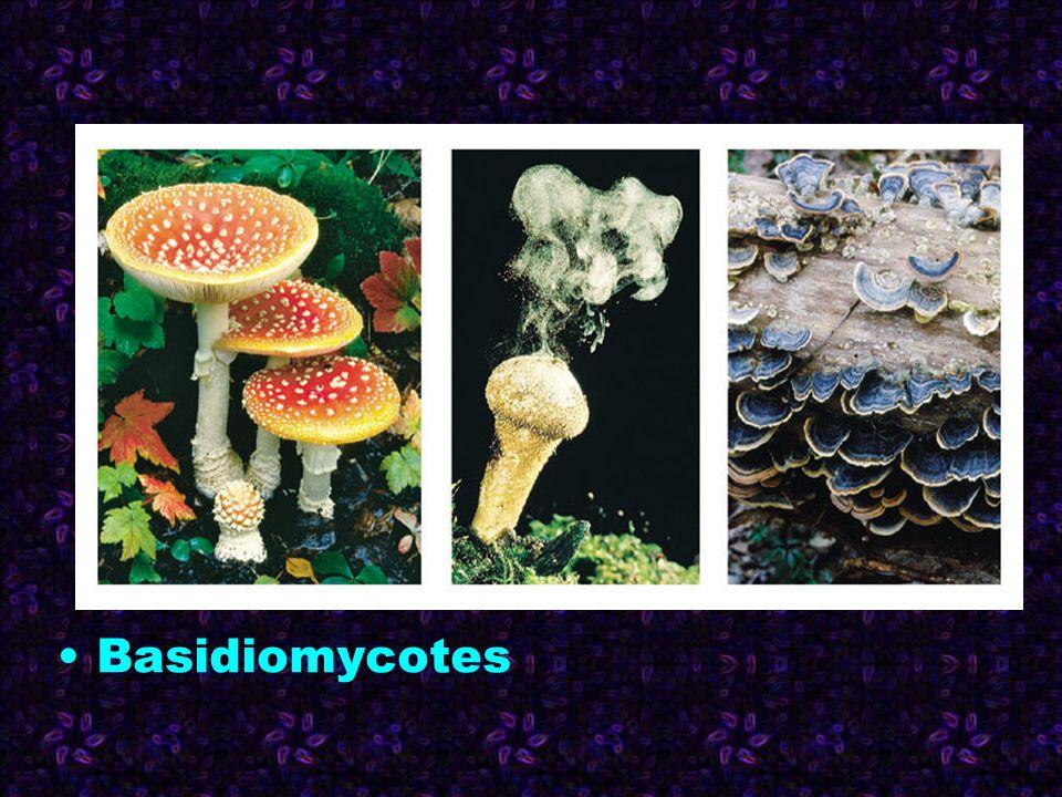 Basidiomycotes 1