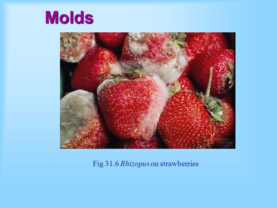 Molds Fig 31.6 Rhizopus on strawberries