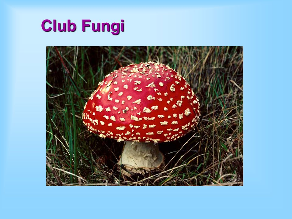 Club Fungi A mold is a rapidly growing, asexually reproducing fungus.