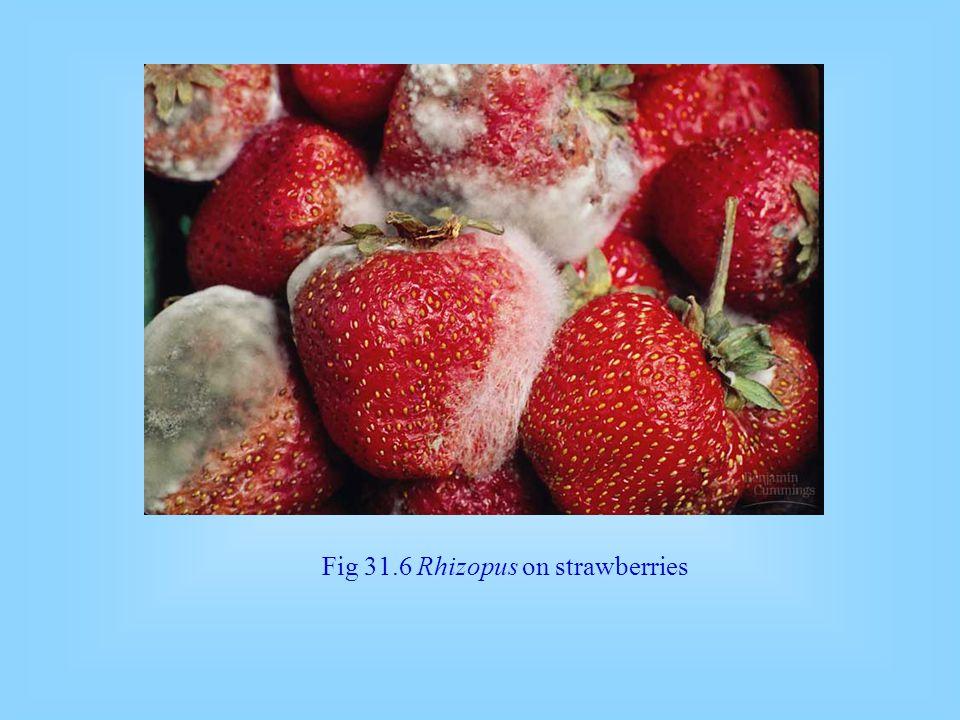 Fig 31.6 Rhizopus on strawberries