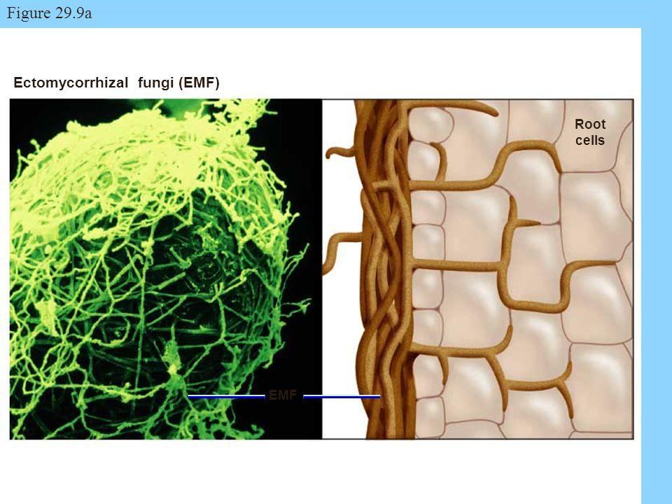 Figure 29.9a Ectomycorrhizal fungi (EMF) Root cells EMF Figure: 29.9a