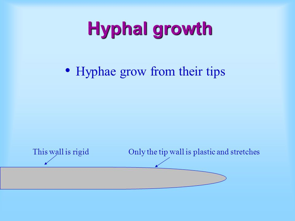 Hyphae grow from their tips