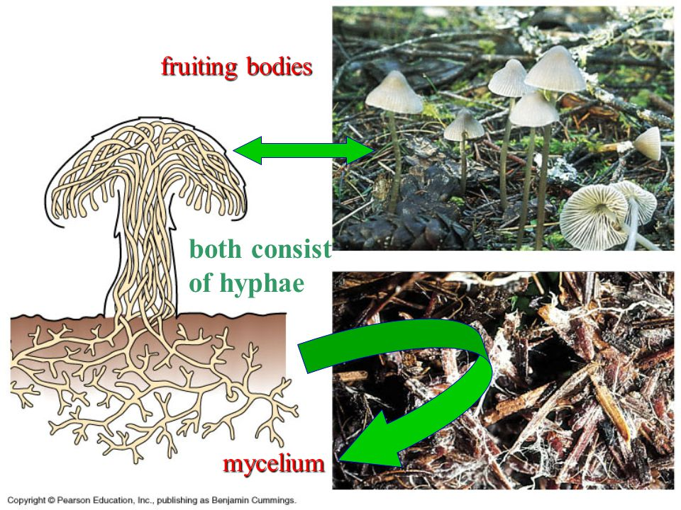fruiting bodies both consist of hyphae mycelium