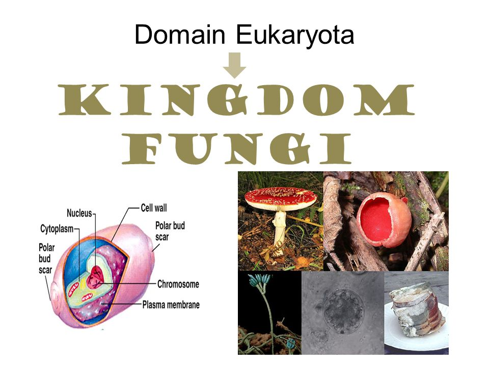 Domain Eukaryota Kingdom fungi