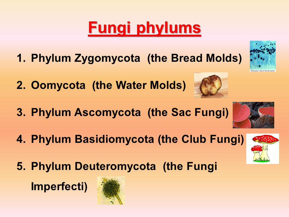 Fungi phylums Phylum Zygomycota (the Bread Molds)