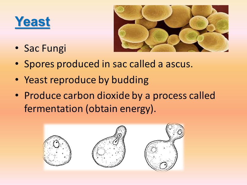 Yeast Sac Fungi Spores produced in sac called a ascus.