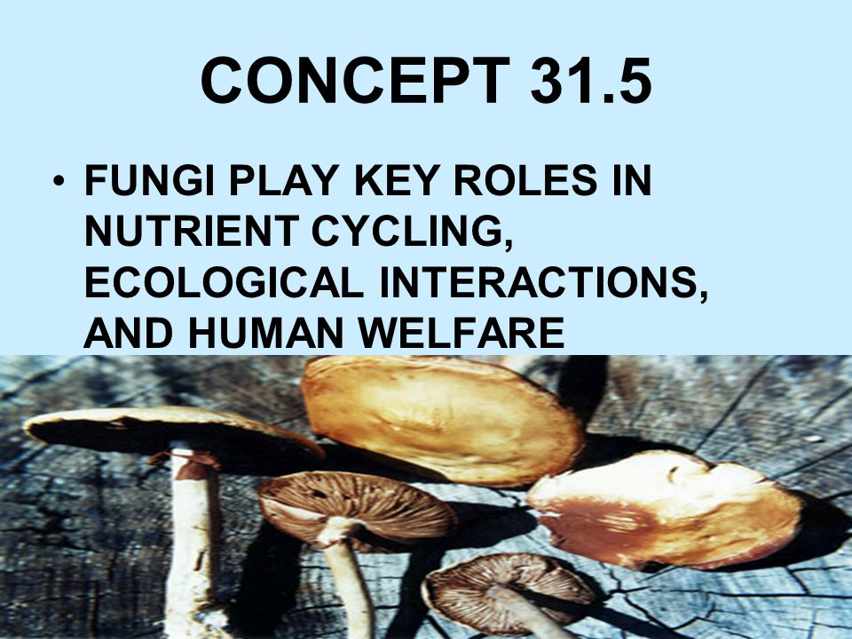 CONCEPT 31.5 FUNGI PLAY KEY ROLES IN NUTRIENT CYCLING, ECOLOGICAL INTERACTIONS, AND HUMAN WELFARE