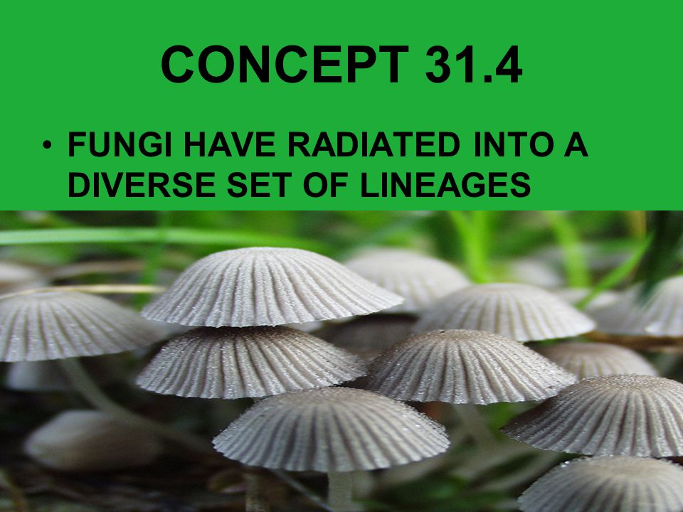 CONCEPT 31.4 FUNGI HAVE RADIATED INTO A DIVERSE SET OF LINEAGES