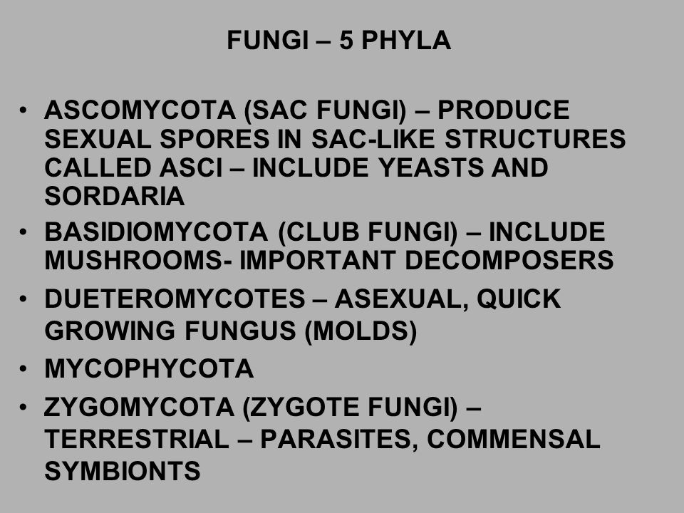 FUNGI – 5 PHYLA ASCOMYCOTA (SAC FUNGI) – PRODUCE SEXUAL SPORES IN SAC-LIKE STRUCTURES CALLED ASCI – INCLUDE YEASTS AND SORDARIA.