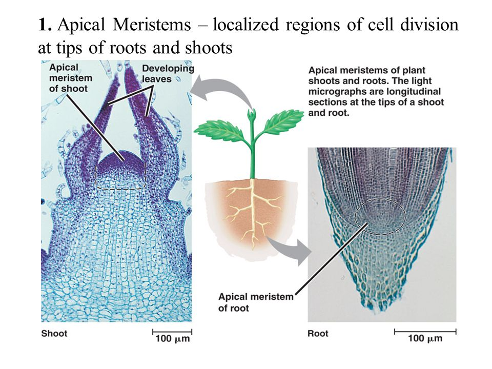 1. Apical Meristems – localized regions of cell division at tips of roots and shoots