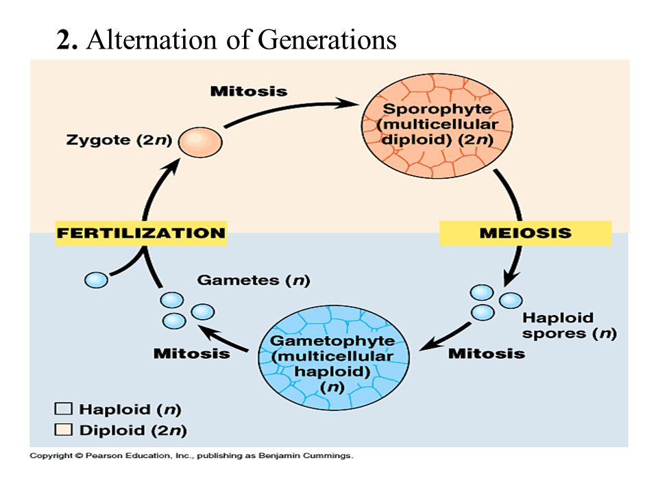 2. Alternation of Generations