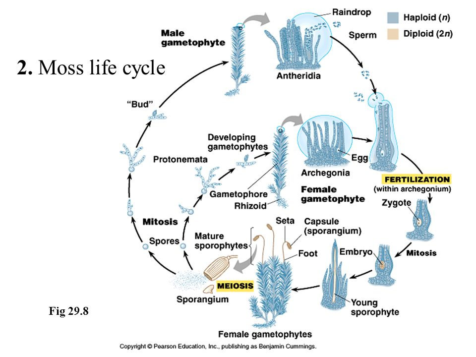 2. Moss life cycle Fig 29.8