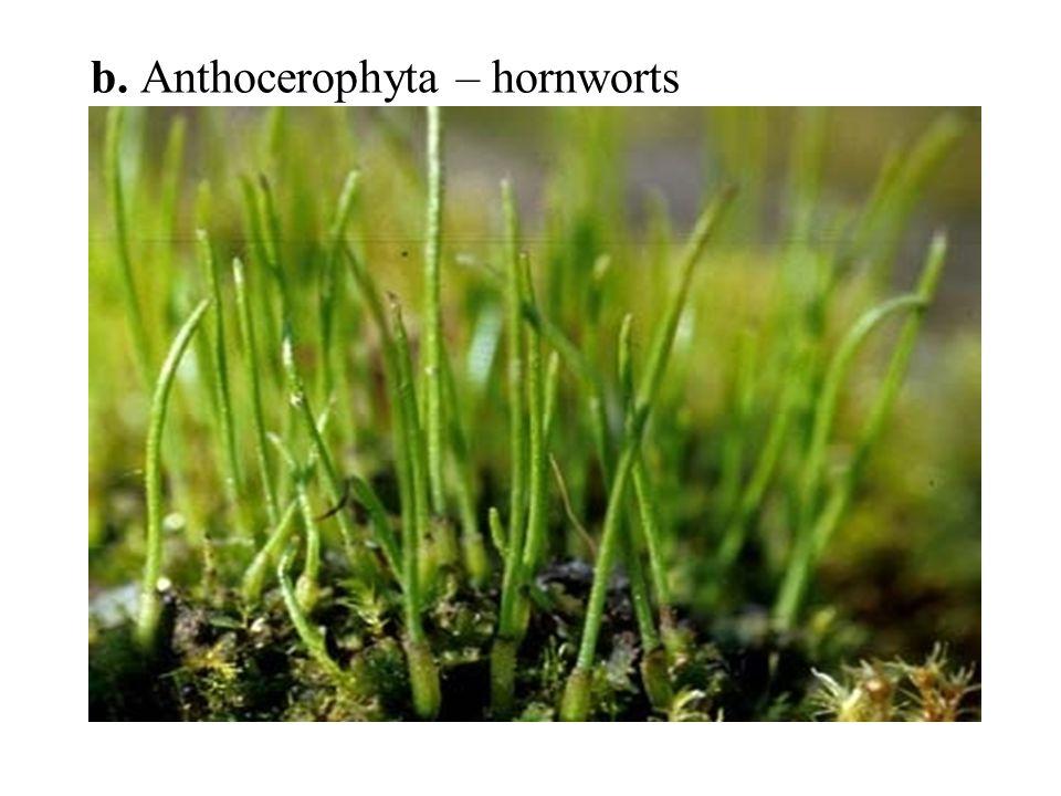 b. Anthocerophyta – hornworts