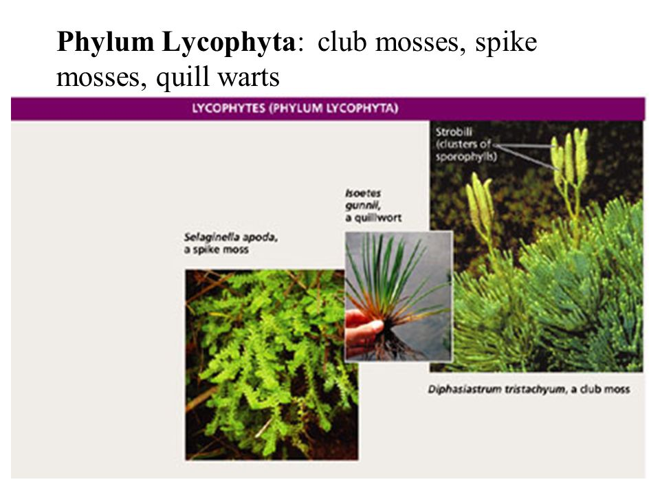 Phylum Lycophyta: club mosses, spike mosses, quill warts