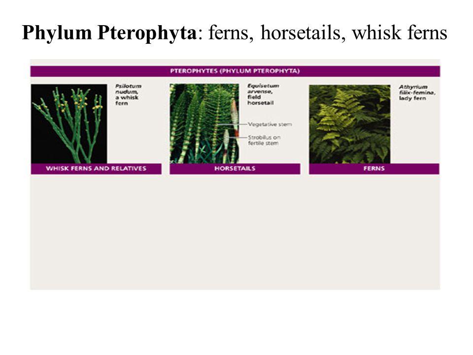 Phylum Pterophyta: ferns, horsetails, whisk ferns