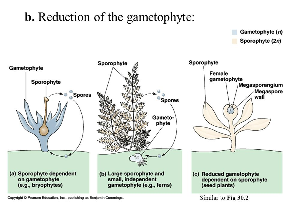 b. Reduction of the gametophyte: