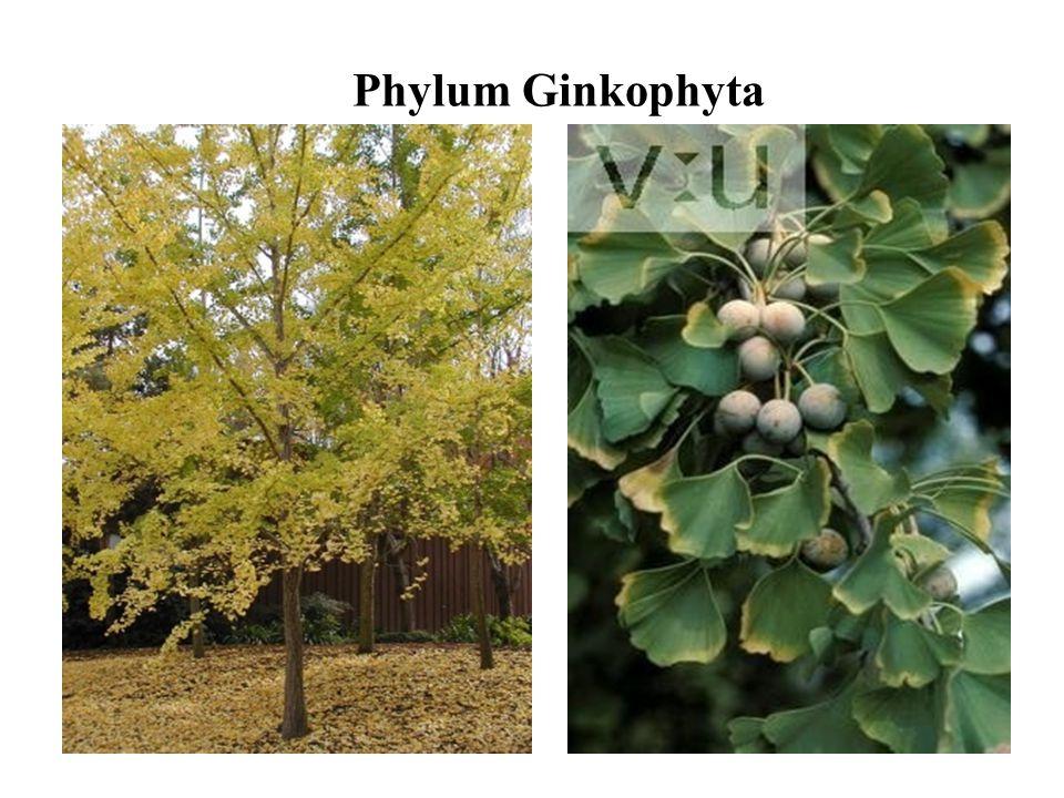 Phylum Ginkophyta
