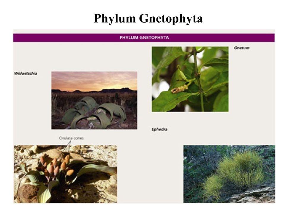 Phylum Gnetophyta