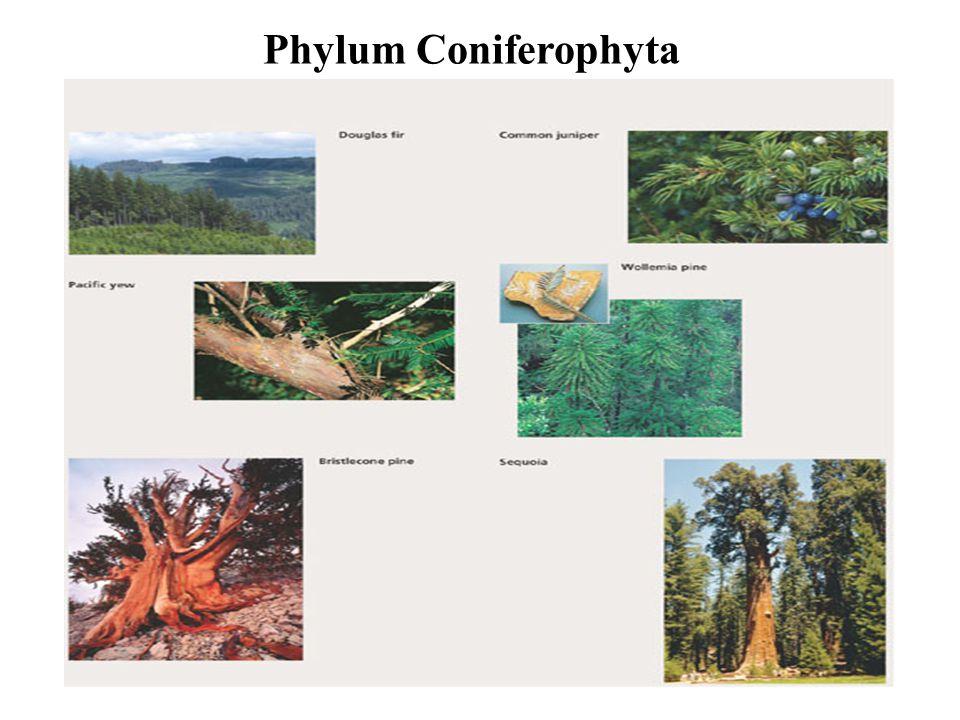 Phylum Coniferophyta