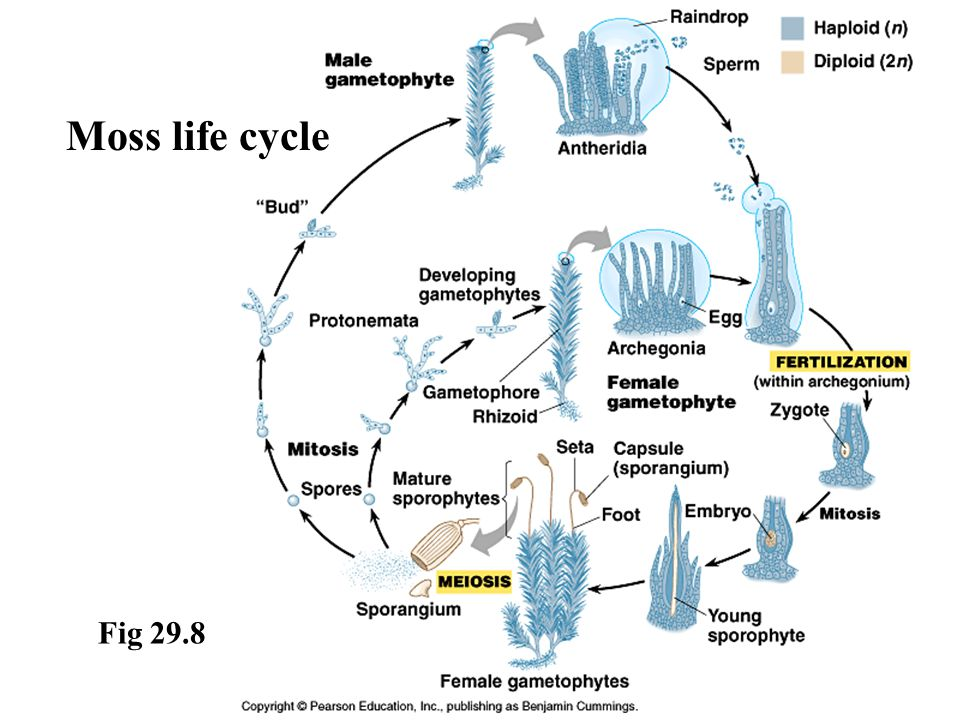 Moss life cycle Fig 29.8