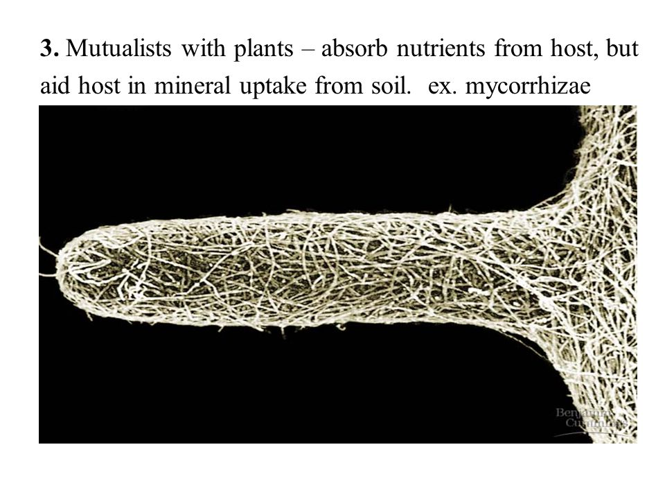 3. Mutualists with plants – absorb nutrients from host, but
