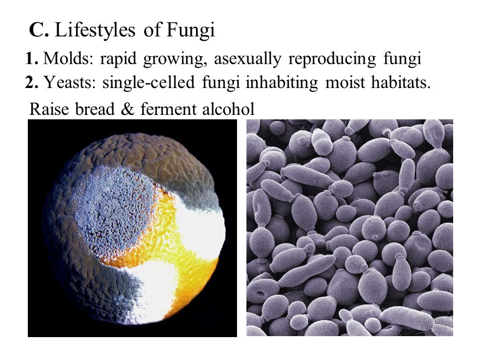 C. Lifestyles of Fungi 1. Molds: rapid growing, asexually reproducing fungi. 2. Yeasts: single-celled fungi inhabiting moist habitats.