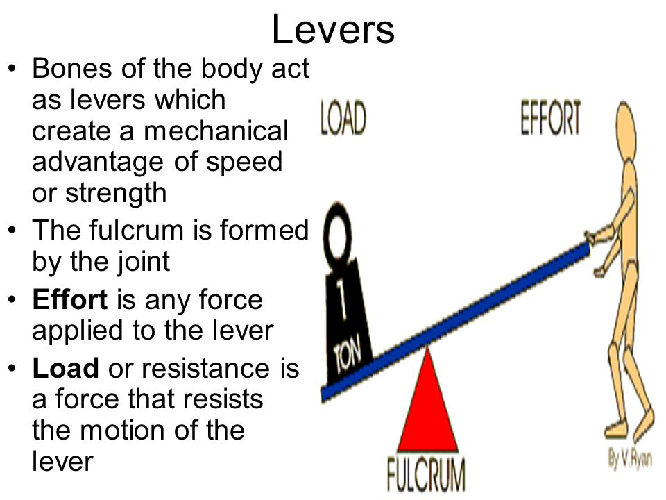 Levers Bones of the body act as levers which create a mechanical advantage of speed or strength. The fulcrum is formed by the joint.