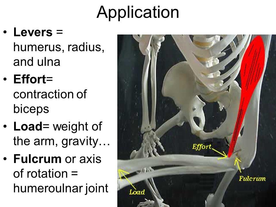 Application Levers = humerus, radius, and ulna