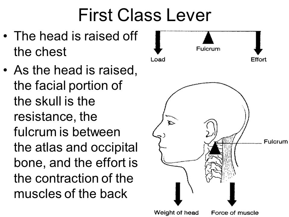 First Class Lever The head is raised off the chest