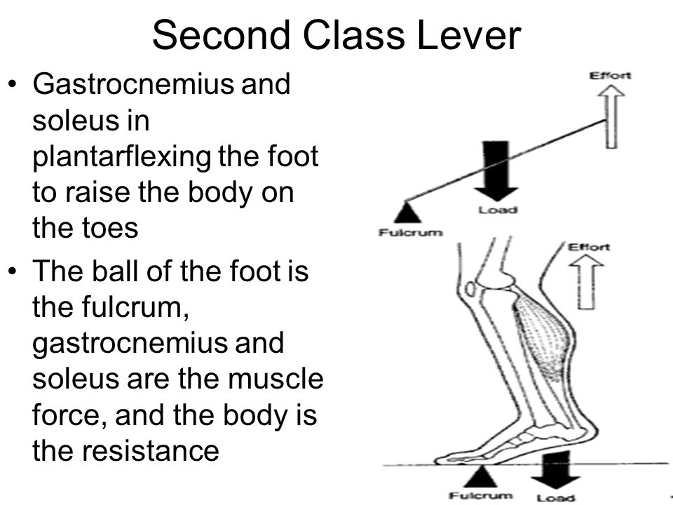 Second Class Lever Gastrocnemius and soleus in plantarflexing the foot to raise the body on the toes.