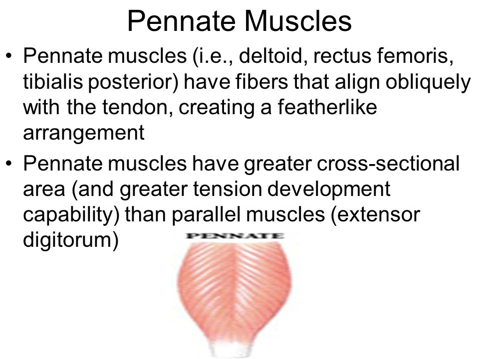 Pennate Muscles